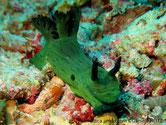 Nudibranche, surface ridée, couleur vert foncé, panache branchiale et rhinophores bleu foncé