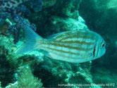 poisson, bandes, horizontales, orangées