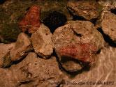 cigale de mer, couleur rosée, tête, forme triangulaire, aplatie