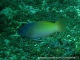 labre, bicolore, bleu gris,jaune, nageoire dorsale tache noire