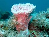 éponge,tube évasé, bleuté-rose, surface externe, conules