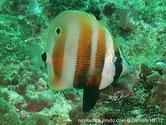poisson, comprimé, 3 larges bandes, oranges, arrière dos, ocelle noire, pédoncule caudale, bande noire