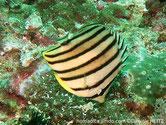 poisson, comprimé, corps blanc, jaunâtre, 8 bandes verticales, noires, 1 sur l'oeil