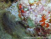 anemone, tube
