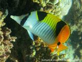 poisson, blanc, jaune, lignes verticales