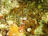 Anémone, tube, vésicules, blanches, brunes, longs tentacules base brune, anneaux blancs, longueur transparents