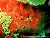 éponge, rouge-orangé, filaments blancs, veines et oscules transparents