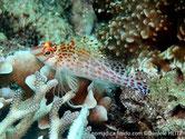 poisson, allongé, dos, selles, rose orangé à brunâtre, queue parsemé de petits points orangés