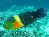 poisson, tête, verte, tache orangé, bande jaune, queue balais