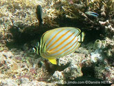poisson, comprimé, corps, blanc, bandes obliques, jaune orangé, tête, bandes noires, verticales, une sur l'oeil