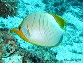 poisson, tête jaune