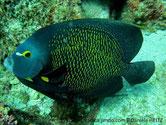 poisson, forme arrondie, couleur gris bleuté, écailles, bordure jaune, oeil cerclé jaune, tache blanche, base opercule, tache jaune