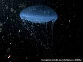 méduse bleuté, filaments fins