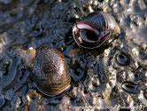 escargot, marin, petit, sombre