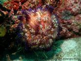 Oursin, coquille, orangé, rougeâtre, périphérie, piquants blancs, longs et piquant courts, annelés blanc violet