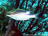 poisson, double lignes