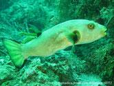 poisson, ballon, corps, gris, beige, oeil jaune, cerclé, brun, tache, brune, nageoire, pectorale, dorsale, queue, bordure, noire