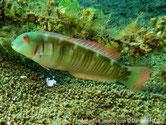 poisson, allongé, corps, verdâtre, lignes rouges, verticales, tête,  2 traits parallèles, noirs, cor
