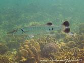 poisson, très allongé, cylindrique, gris argenté, dos rayé, queue taches noires