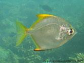 poisson, argenté brillant