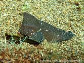 poisson, crème à brun foncé, nageoire dorsale haute , du front à la queue.
