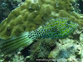 poisson, vêrdâtre, lignes, bleues, points noirs, queue, longue