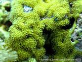 Corail mou, encroûtant, maillage, jaune souffre, polypes, rétractables