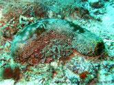 holothurie, grande taille, couleur variable, gris beige, oscelles jaunes cerclés noires