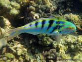 poisson, corps, couleurs vives, bandes verticales noires