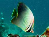 poisson, comprimé, corps gris pâle à brun, chevrons , queue, noire,base, fine bande jaune