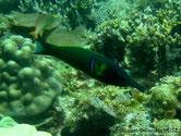 poisson , museau, très allongé, corps bleu verdâtre, nageoire pectorale, tache jaunâtre verticale,