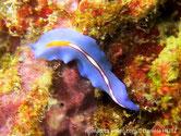 Ver marin, plat, très fin, bleu, bande médiane blanche, point orange, brodée, liseré violet à bleu foncé
