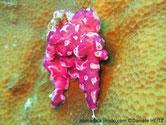 ascidie, tunique commune, rose-violacé,  surface trouée, siphons cerclés blancs