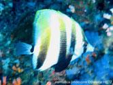 poisson, comprimé, grandes nageoires, dorsale, anale, 2 bandes noires en V, oeil, bande noire, pédoncule caudale, bande noire