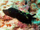 Limace de mer, couleur variable, orangé, brun rougeâtre, taches contrastées,