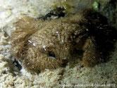 crabe, poilu, beige clair, grisâtre, terminaisons inces, brunes
