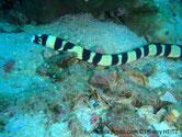 anguille serpent, crème, rayé noir