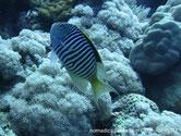 poisson, rayé, nageoire dorsale jaune, noire
