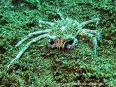 Crabe araignée, bleuté, pattes, très longues, fines, pinces courtes, carapace hérissée de piquants.