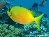 poisson lapin, jaune, points bleus