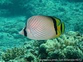 Poisson, comprimé, fond blanc, lignes grisâtre en chevrons, 3 bandes noires verticales, oeil, pédoncule caudale et nageoire dorsale arrière, queue