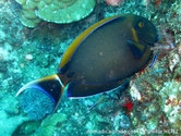poisson, scapel bleu, tête , tache bleue, bande orangé