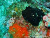 Eponge, encroûtante noire, oscules sommet élévations