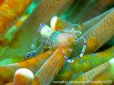 Crevette, transparente, bosse dorsale, selle bleu violacé blanche