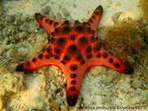 étoile de mer, trapu, bras courts, couleur variables, crème , orangé, pointes larges, coniques, brun foncé
