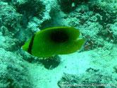 poisson, comprimé, jaune, dos, tache ovale, diffuse, noire, tête, oeil,  bande, noire, verticale,