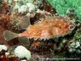 poisson porc épic, corps trapu, brun beige, taches foncées, grosses épines, grosse tête, gros yeux,