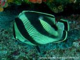 poisson papillon, argenté blanc, jaunâtre, 4 bandes verticales noires