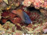 Poisson, tête bleu, corps orange, tache sombre sur l'opercule