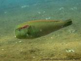 poisson, verdâtre,ocelles rouges, alignés,